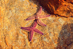 Northern Pacific seastar Stock Photo