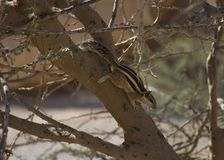 Northern Palm Squirrel in the UAE. stock image