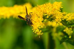 Northern Paper Wasp. Collecting nectar from a Goldenrod flower Royalty Free Stock Photography