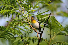 Northern Parula Royalty Free Stock Photography