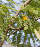 Northern Parula bird in thick vegetation Stock Images