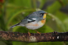 Northern Parula on a Branch Royalty Free Stock Image
