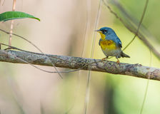 Northern Parula on a branch Royalty Free Stock Photos