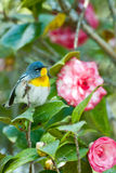 Northern Parula Royalty Free Stock Images