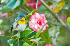Northern Parula Stock Images