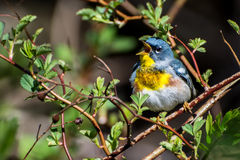 Northern Parula Stock Photography