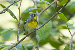 Northern Parula Stock Image