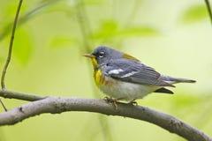 Northern Parula (Parula americana americana). Northern Parula (Parula americana) on branch Stock Image