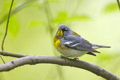 Northern Parula (Parula americana americana) Stock Photography