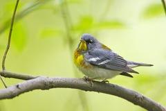 Northern Parula (Parula americana americana). Northern Parula (Parula americana) on branch Stock Photography