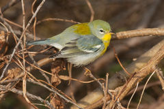 Northern Parula Royalty Free Stock Photos