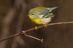 Northern Parula Stock Photos