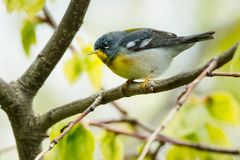 Northern Parula - Setophaga americana. Male Northern Parula perched on a branch. Ashbridges Bay Park, Toronto, Ontario, Canada Stock Image