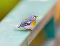 Northern Parula. Stock Photos
