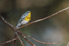 Northern parula warbler. Northern parula in migration season Stock Photography