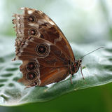 Northern Pearl Eye butterfly Royalty Free Stock Photography