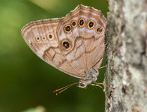 Northern Pearly-eye. A beautiful Northern Pearly-eye butterfly rests on the side of a tree trunk in a Wisconsin northwoods forest Royalty Free Stock Images