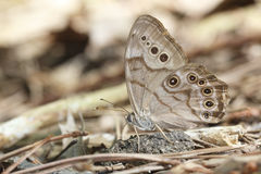Northern Pearly Eye. (Enodia anthedon) - Ontario, Canada Stock Photography