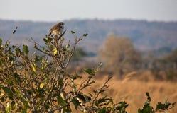 Northern pied-babbler. (Turdoides hypoleuca) at Mikumi National Park, Tanzania Stock Photos
