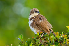 Northern Pied Babbler, Head Turned Royalty Free Stock Image