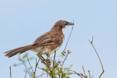 Northern Pied Babbler With Nesting Material Stock Photography