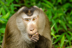 Northern pig-tailed macaque Macaca leonina in Khao Yai National Park. Thailand Stock Photo