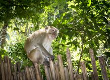 Northern pig-tailed macaque (Macaca leonina) in Thailand. Northern pig-tailed macaque (Macaca leonina) in Railay peninsula, Thailand Royalty Free Stock Photography