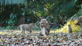 Northern pig-tailed macaque. Northern pig-tailed young macaque eating at Khao Yai national park, Thailand stock video