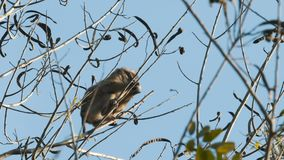 Northern pig-tailed macaque. Northern pig-tailed young macaque eating on the tree at Khao Yai national park, Thailand stock footage