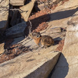 Northern pika sitting on the rocks Royalty Free Stock Image