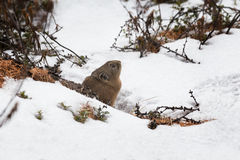 Northern pika in winter Royalty Free Stock Images