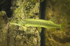 Northern pike. The northern pike (Esox lucius, known simply as a pike in Britain, Ireland, and the USA, or as jackfish in Canada), is a species of carnivorous Stock Photography