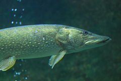 Northern pike Stock Photo