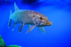 Northern pike. The adult northern pike floating in water Royalty Free Stock Photo