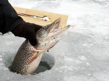 Northern Pike caught ice fishing royalty free stock image