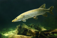 The Northern Pike (Esox Lucius). Stock Image