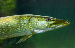 The Northern Pike (Esox Lucius). Stock Photography