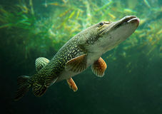 The Northern Pike (Esox Lucius). Royalty Free Stock Photography