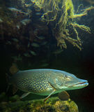 The Northern Pike (Esox Lucius). Royalty Free Stock Photos