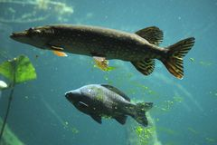 Northern pike Esox lucius and common carp Cyprinus carpio. Northern pike Esox lucius and wild common carp Cyprinus carpio. Wildlife animal Royalty Free Stock Images