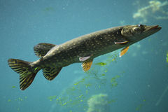 Northern pike (Esox lucius). Royalty Free Stock Image
