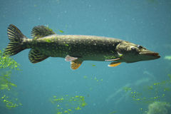 Northern pike (Esox lucius). Wildlife animal Stock Photography