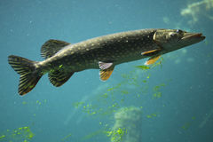 Northern pike (Esox lucius). Stock Image