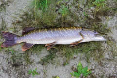 Northern pike Stock Images