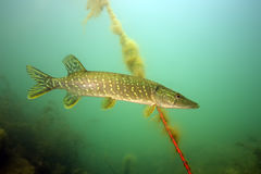 The northern pike at the harbor rope Royalty Free Stock Photos