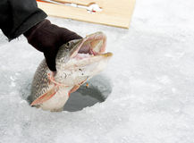 Northern Pike through the ice Stock Image