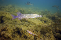 The northern pike known as a pike or pickerel Stock Image