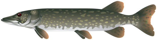 Northern pike realistic vector illustration Stock Photos