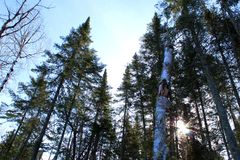 Northern pine trees against blue sky stock photo