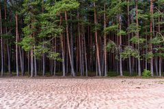 Northern pines Royalty Free Stock Photography